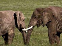 Congo Virunga Elefanti