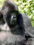 la giungla del congo e i gorilla
