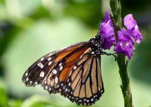 Costarica farfalla