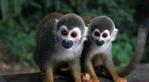 Amazzonia scimmie