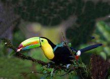 Costarica tucano