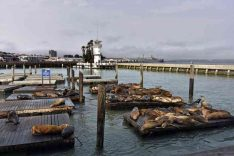 12Usa Ca Sfrancisco 9Pier sea lions