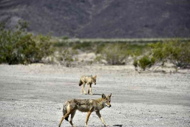 3Usa Ne Death Valley coyote9