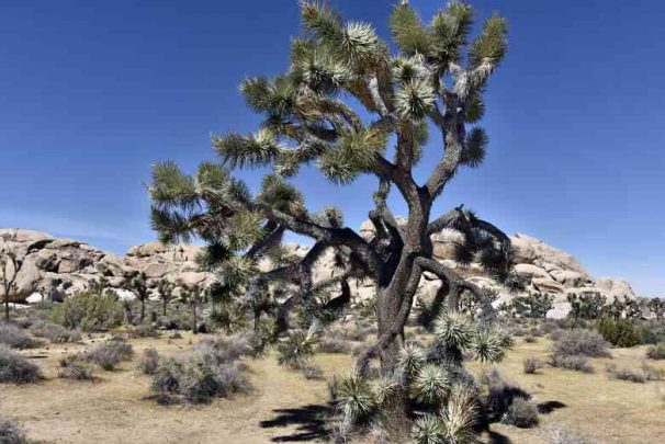 4Usa Ca Mojave Josua Tree Np5